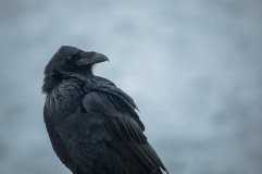 raven-looking-over-wing-on-overcast-day
